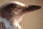 Donate to the Scrub-jay Trail